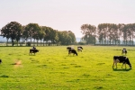 photo of dairy cows